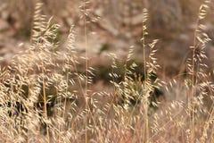 与干草和野燕麦的美好的领域在精美米黄和金黄颜色、秋天或者春天风景,墙纸 免版税库存照片