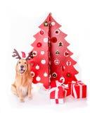 与干草的金毛猎犬在圣诞树附近 免版税库存照片