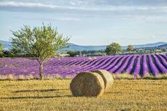 与干草的Lavander领域在正面图滚动 免版税库存图片