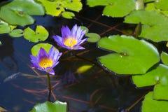 与平展绿色叶子的两朵美丽的紫色莲花 免版税库存照片