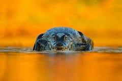 与平衡橙色太阳, Yacare凯门鳄,在河表面的鳄鱼,动物在水中,面对面,自然栖所的凯门鳄, 免版税库存图片
