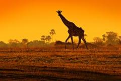 与平衡橙色日落光,博茨瓦纳,非洲的田园诗长颈鹿剪影 动物在自然栖所,有树的 免版税库存图片