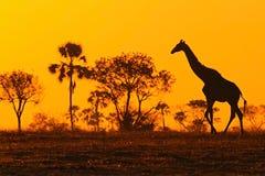 与平衡橙色日落和树,博茨瓦纳,非洲的田园诗长颈鹿剪影 库存照片