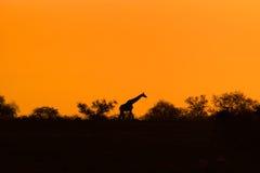 与平衡橙色日落的长颈鹿剪影 库存图片