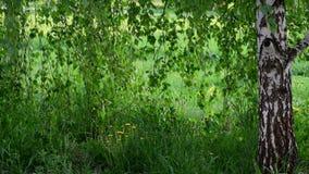 与年轻人叶子的桦树在春天 股票视频