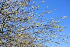 与年轻人的树枝在春天离开 图库摄影