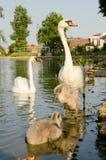 与年轻人的白色天鹅 池塘在村庄,南摩拉维亚,捷克 免版税库存照片