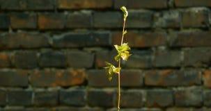 与年轻叶子的分支为太阳到达 影视素材