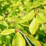 与年轻叶子的山毛榉树 库存图片