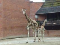 与年轻子孙的长颈鹿长颈鹿 免版税库存图片