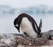 与年轻小鸡,南极半岛的嵌套成人Gentoo企鹅 库存照片