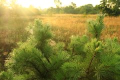 与年轻杉木的美好的风景在黎明 在树的露水在清早 库存图片