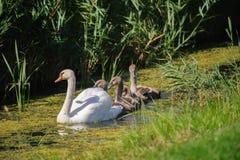 与年轻游泳的天鹅 免版税图库摄影