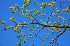 与年轻绿色橡木的分支在往阳光的春天离开 橡木离开可以 免版税库存照片