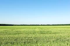 与年轻绿色麦子植物的农业领域 没有云彩的清楚的蓝天在背景 均等splitted图象 库存图片