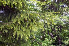 与年轻芽的杉木分支 库存图片