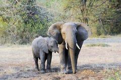 与幼儿小牛的大象在夜间星期日 免版税库存图片
