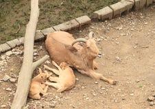 与幼兽的石山羊 图库摄影