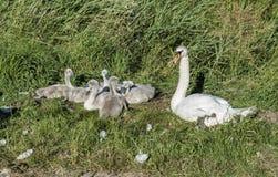 与幼小天鹅的母亲天鹅 免版税库存照片