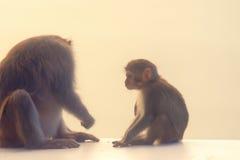 与幼小崽的成人短尾猿猴子 库存图片