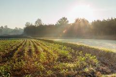与幼木的领域在日出 免版税库存图片