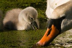 与幼鸟的疣鼻天鹅 免版税库存图片