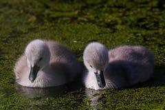 与幼鸟的疣鼻天鹅 免版税图库摄影