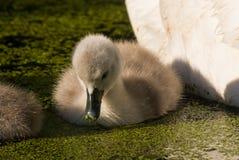 与幼鸟的疣鼻天鹅 免版税库存照片