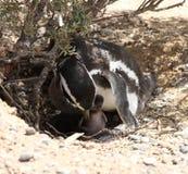 与幼鸟的Magellanic企鹅。母亲关心。 免版税库存图片