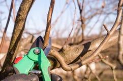 与庭院剪刀的修剪的苹果 库存照片