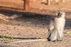 与延长的尾巴的黑长尾小猴在Augrabies 免版税库存图片