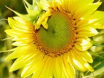 与开发的种子头的向日葵在夏天太阳 库存图片