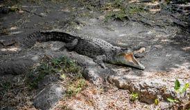 与开放下颌和大牙的一条大绿色鳄鱼在岩石 免版税库存图片