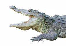 与开放下颌的一条鳄鱼 免版税库存照片