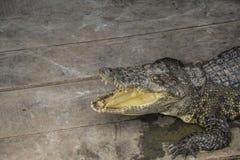 与开放下颌的鳄鱼在木板地板上  图库摄影