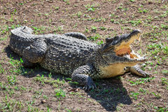 与开放下颌的鳄鱼 库存照片