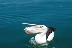 与开放他的额嘴的鹈鹕,捉住大虾 免版税库存图片