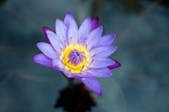 与开放叶子的紫色黄色百合花在池塘 免版税库存图片