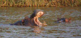 与开放嘴和牙的河马 库存图片