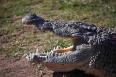 与开放嘴和闭合的眼睛的尼罗鳄鱼 非洲著名kanonkop山临近美丽如画的南春天葡萄园 免版税库存照片