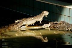 与开放嘴的鳄鱼。 图库摄影