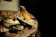 与开放嘴的鳄鱼。 库存照片