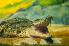 与开放嘴的鳄鱼与大牙 库存图片