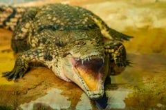 与开放嘴的鳄鱼与大牙 免版税库存照片