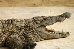 与开放嘴的鳄鱼 库存图片