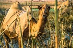 与开放它的嘴的一头骆驼 库存照片