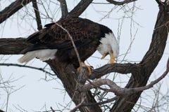 与开放它的额嘴的白头鹰 免版税库存图片
