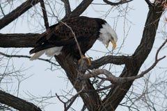 与开放它的额嘴的白头鹰 免版税库存照片