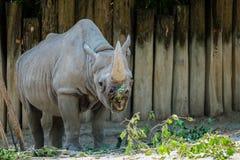 与开放它的嘴的一头犀牛看他的食物 库存图片