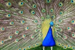 与开放尾巴和大青绿色eyespot的孔雀 库存图片